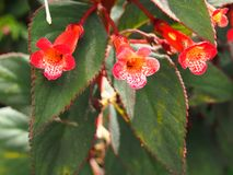 Red tropical flowers and leaves red edge royalty free stock photo