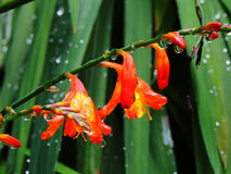 Red tropical flowers washing in rain Royalty Free Stock Photos