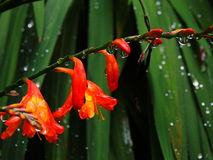 Red tropical flowers washing in rain Royalty Free Stock Images