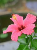 Red tropical hibiscus in bloom Royalty Free Stock Photo