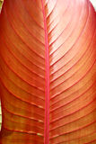 Red tropical leaf - detail Stock Photos
