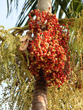 Red tropical palm fruit Royalty Free Stock Photos