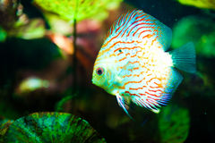 Red tropical Symphysodon discus fish Stock Images
