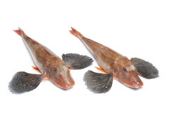 Red tub gurnard fishes Royalty Free Stock Photos