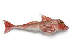 Red tub gurnard. On white background royalty free stock photography