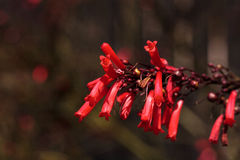Red tube flowers of the Scarlet Bugler Penstemon centranthifolius Stock Image