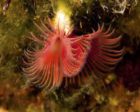 Red Tube-Worm underwater Royalty Free Stock Images