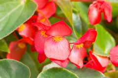 Red Tuberous Begonia. Royalty Free Stock Photo