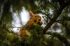 Red Squirrel in a tree, Stockholm, Sweden. A red tufted Squirrell in a tree in Stockholm, Sweden Stock Photo