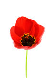Red tulip. Isolated on white background stock image