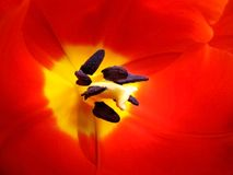 Red tulip. Macro shot of the inside of a red tulip Royalty Free Stock Photo