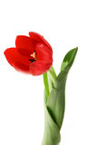 Red tulip. The opened bud red tulip with green leaves costs Royalty Free Stock Images