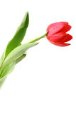 Red tulip. The opened bud red tulip with green leaves costs Stock Photo