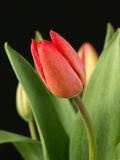 Red tulip. Against black background stock photo