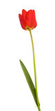 Red tulip. Isolated with clipping path Royalty Free Stock Photo
