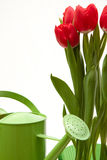 Red tulip. Spring time - a red bouqet of tulip Stock Image