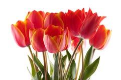 Free Red Tulip Royalty Free Stock Photos - 14258348
