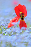 Red tulip. Red dying tulip on blue flowers background Royalty Free Stock Images