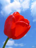 Red Tulip. On a background of the sky and clouds Royalty Free Stock Images