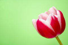 Red tulip. Isolated on green background Royalty Free Stock Photo