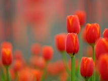 Red tulip. The blooming red tulip  in the spring Stock Images