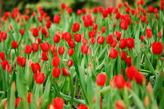 Red tulip. The blooming red tulip  in the spring Stock Photos