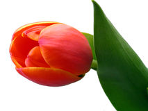 Red tulip. An isolated red tulip with leaves Royalty Free Stock Photography