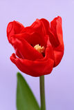 Red tulip. S on a blue background Royalty Free Stock Image
