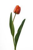 Red tulip. Isolated on white background Stock Photos