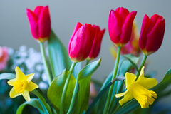 Red tulip. The blooming red tulip and two yellow jonquils stock images