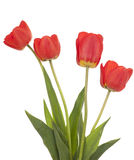 Red tulip. Red  tulip with leaf on white background Royalty Free Stock Photography