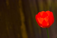 Red tulip. Against a background Stock Image