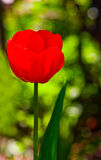 Red tulip. Against a background of green grass Royalty Free Stock Image