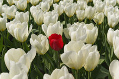 Free Red Tulip. Stock Photography - 24776392