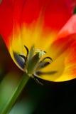 Red tulip Stock Image