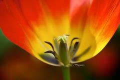 Red tulip Stock Photo