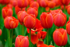 Red tulip. The blooming red tulip in the spring stock photo