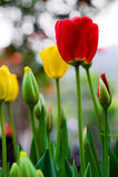 Red tulip Stock Photos