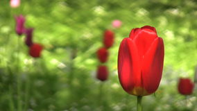 Red tulip. During sping in a park stock video