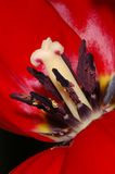 Red tulip. On black background stock images