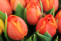 Red tulip. Flower red tulip spring bloom fresh Royalty Free Stock Photo