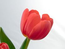 Red Tulip. Close up red tulip in bloom and green stem stock photography