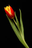 Red tulip. On a black background Royalty Free Stock Images