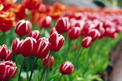 Red tulip. It is red tulip in the rain Royalty Free Stock Photos