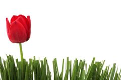 Red tulip. In grass, on white Stock Photo