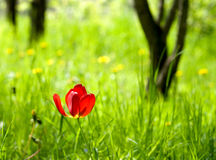 Red tulip. Tulip in meadow with tree trunks on background Stock Photo