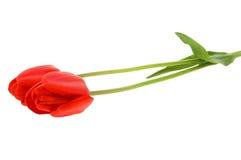 Free Red Tulip Stock Photo - 5317520