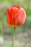 Red tulip. Flower on green blurred background Stock Photo