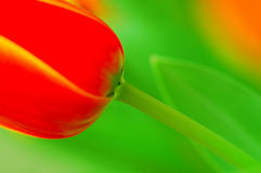 Red tulip. Windswept in the garden stock photography
