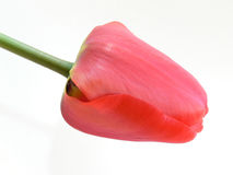 Red tulip. Tulip with some jellow stripes and a green stipe royalty free stock photo